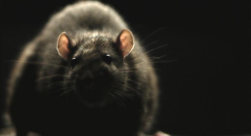 rats_4guide_copy__large
